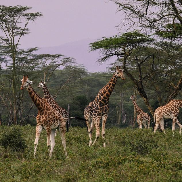giraffes-2685352_1920 KENYA-55.jpg