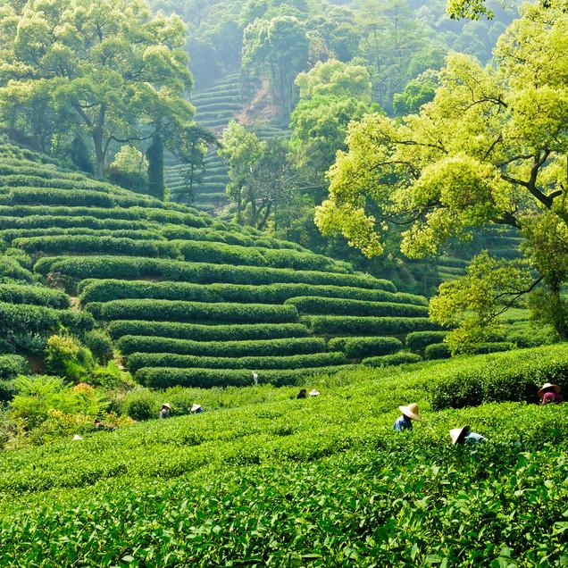 Hangzhou Tea Fields istock-22.jpg