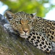 africa-big-cat-cat-46254-47.jpg
