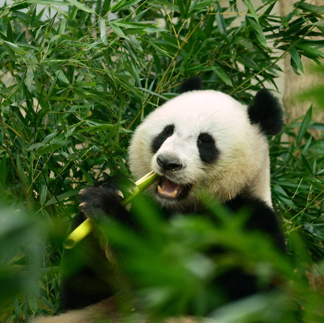 CHENGDU DESTINATION IMAGE Giant panda be