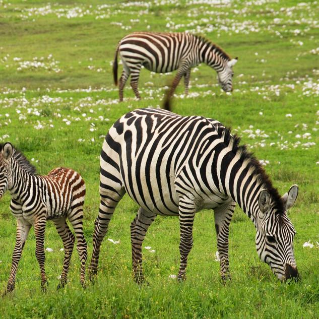baby-zebra-75885_1920 KENYA-61.jpg