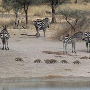 Zebra & Mongoose-59.jpg