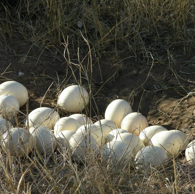 Serengeti Ostrich nest-57.jpg