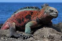 Explore Iguanas