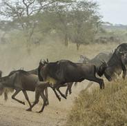 wildebeests-805391_1920 KENYA-41.jpg