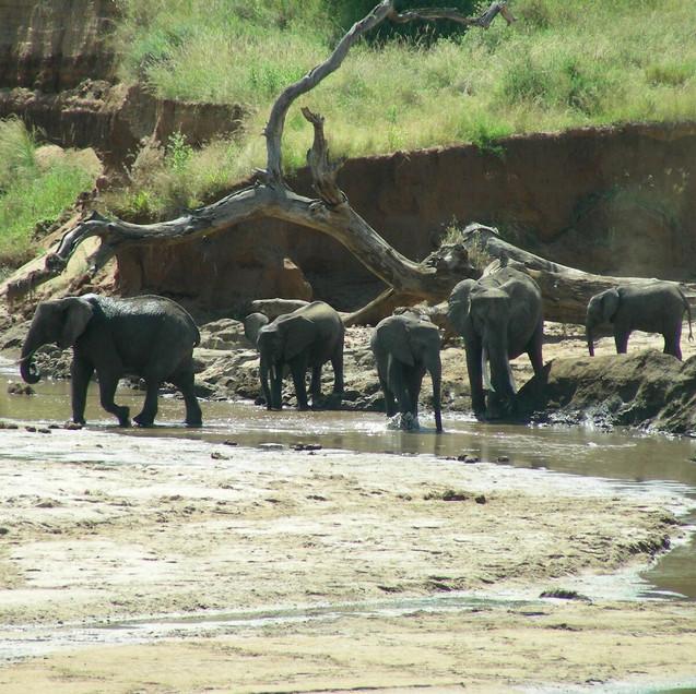Elephants in Tarangire River-61.jpg