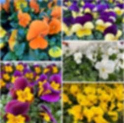 Viola cornuta.jpg