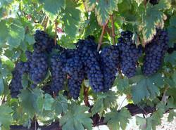 Lacrima grapes