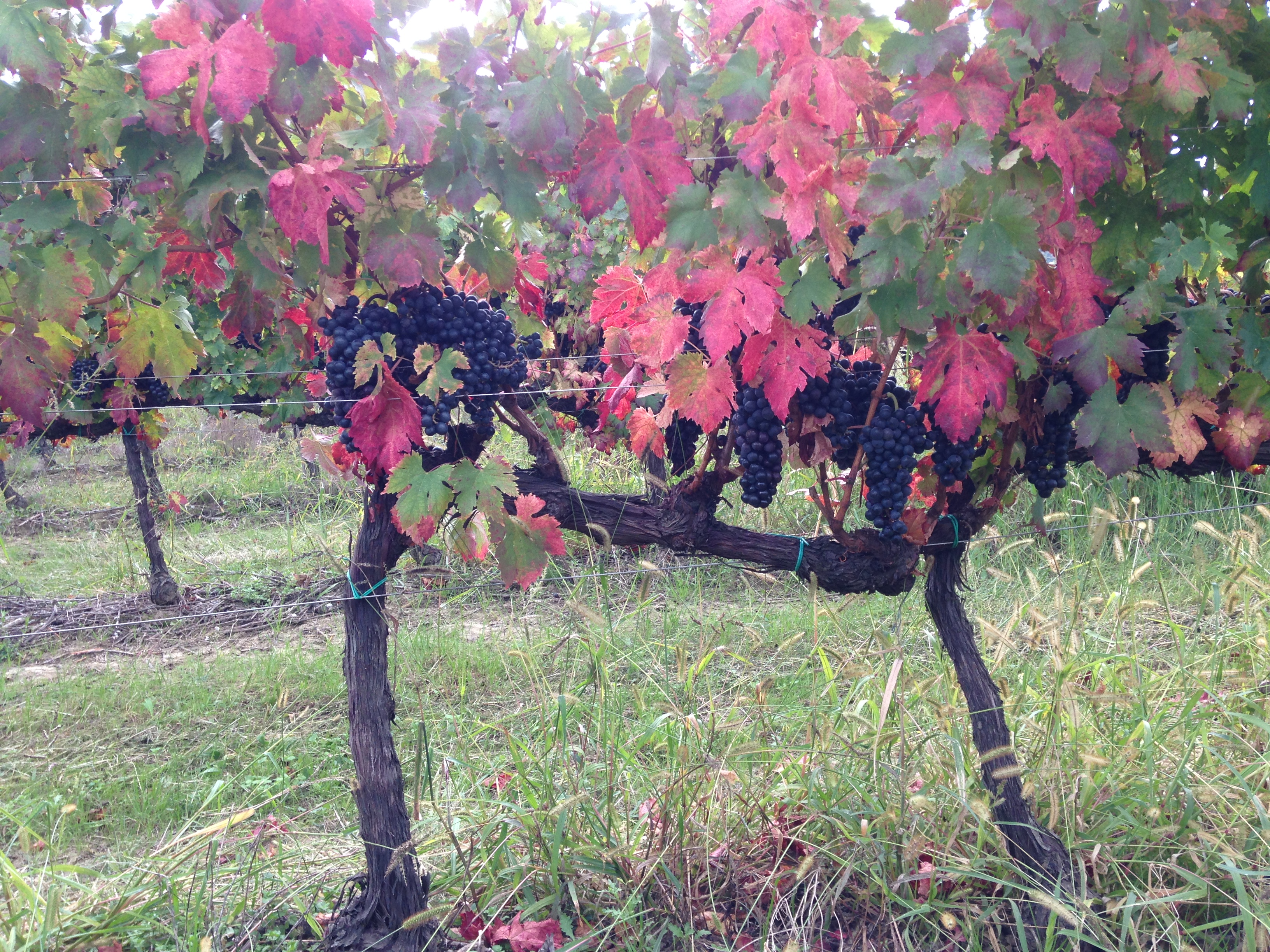 Lacrima grapes at fall