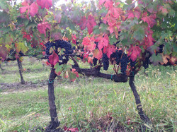 Lacrima grapes at fall