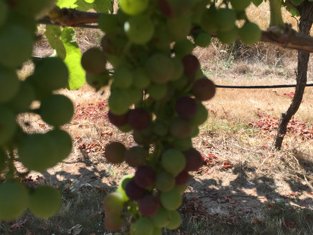 Verasion is well underway with our Pinot Noir (Verasion is the official term for grapes turning purp