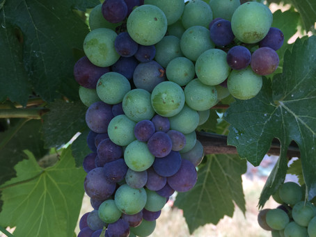 The First Purple Grapes
