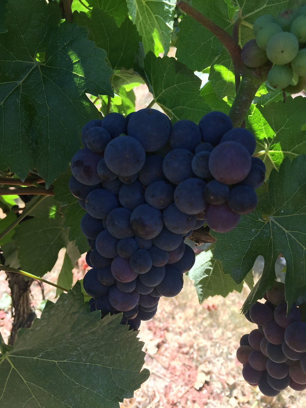 """These is our """"most ripe"""" Pinot Noir and Syrah clusters.  Most of the vineyard isn't this far along!"""