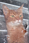 Abyssinian Cat Looking Out A Window.jpg