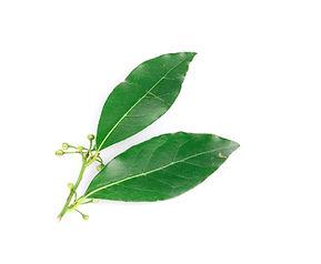 Cirtrus Leaves