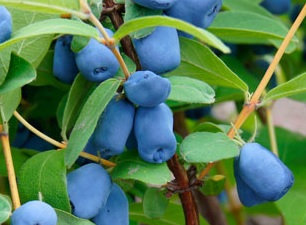 Haskaps (Honeyberries) -