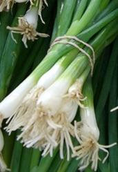 V0130C  Evergreen White Hardy Bunching