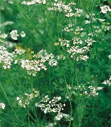 H0025C Cilantro (Corianndrum sativum) – Jantar