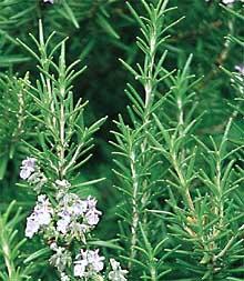 H0046 Rosemary (Rosmarinus Officinalis)