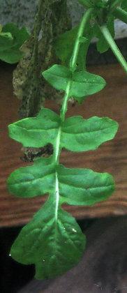 H0058 Arugula (C Eruca  versicaria sativa)