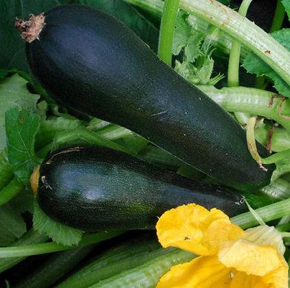 V0168  Black Zucchini (1931)