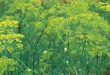 H0027C Dill – Bouquet (Anethum Graveolens)