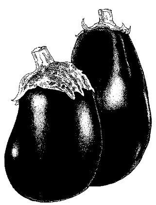 V0083C  Black Beauty Eggplant (1902)