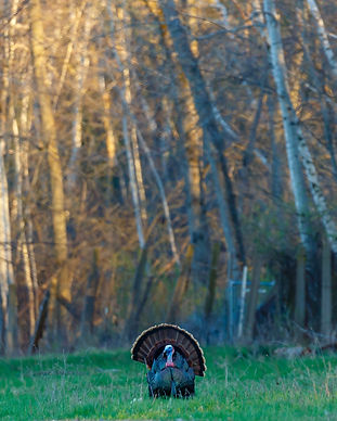 Male Wild Turkey (Meleagris gallopavo) s