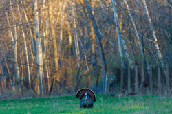 Male Wild Turkey (Meleagris gallopavo) strutting with fan tail out in Wisconsin during the spring ma