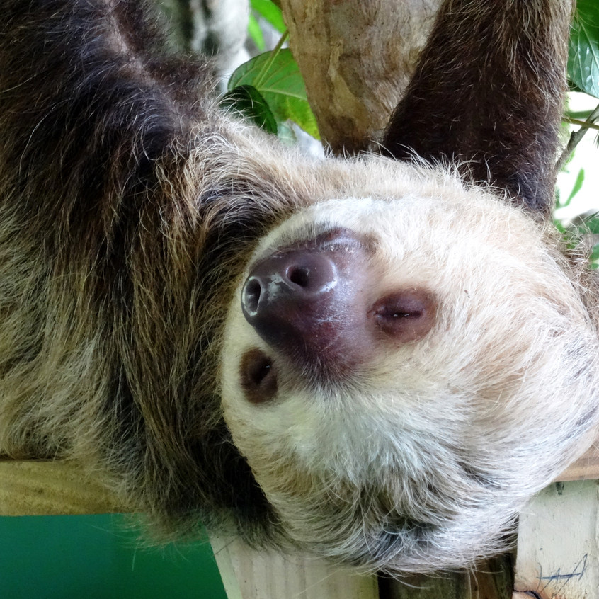 Tired sloth