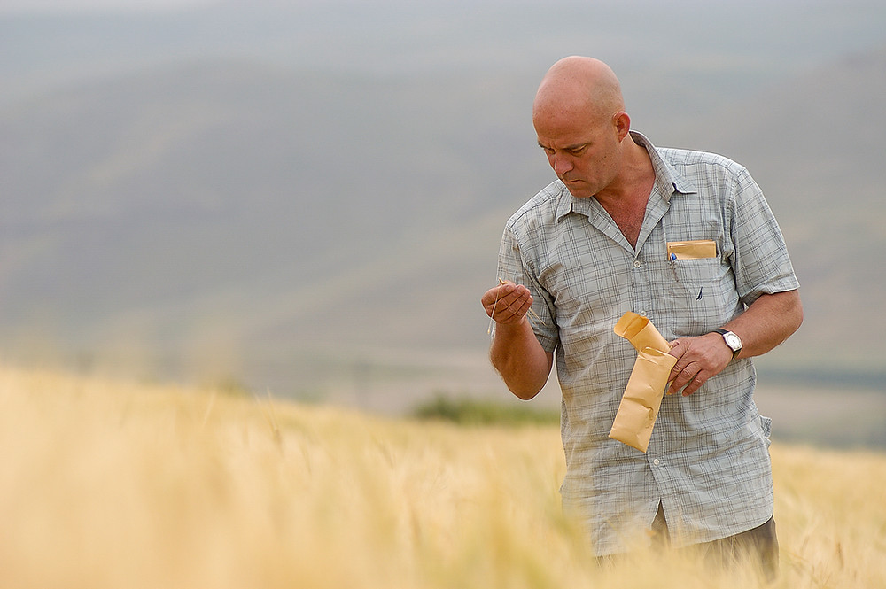 Australian scientist Dr Ken Street standing in a field of wild grasses, examining seeds he is holding, and which he is collecting in brown sample envelopes, which he is also holding.