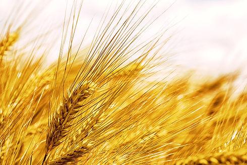 barley-5233734_1920.jpg