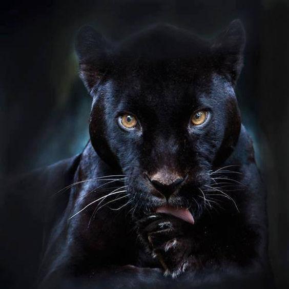 black-jaguar2.jpg