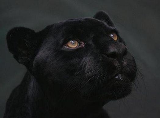 Black_Panther500.jpg