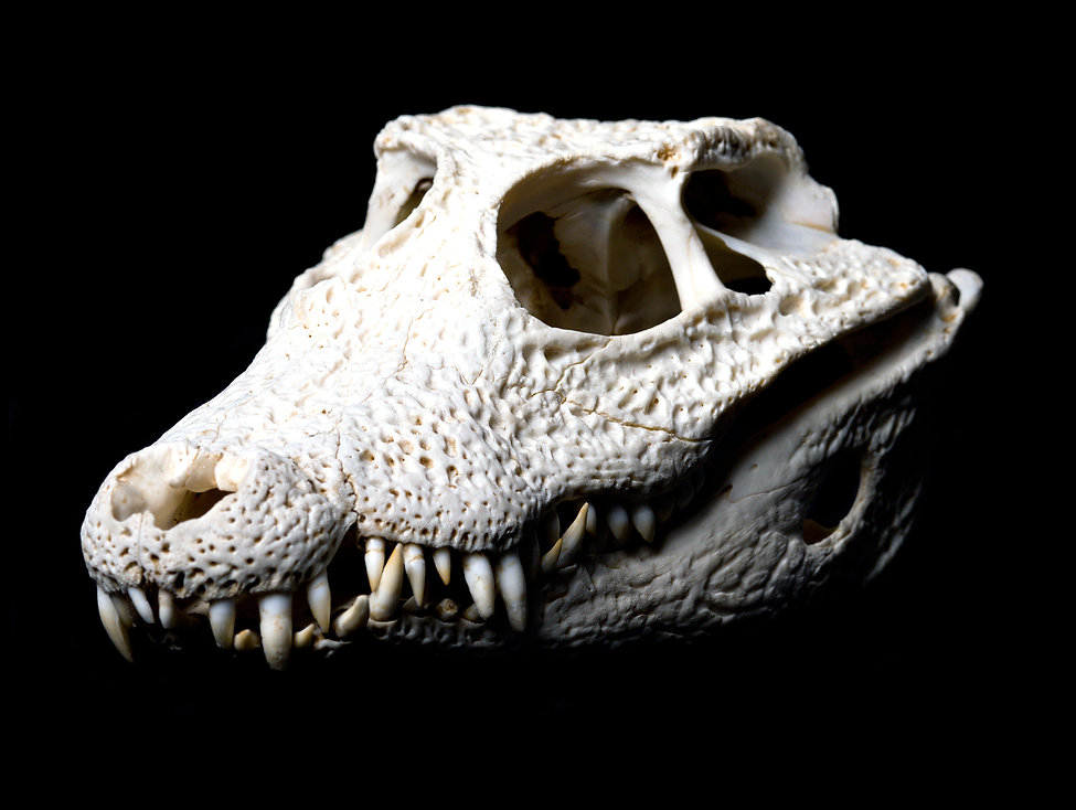 Real animal crocodile scull. Photo with