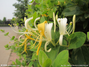 金银花如何有益于您的健康? How Honeysuckle Benefits Your Health?
