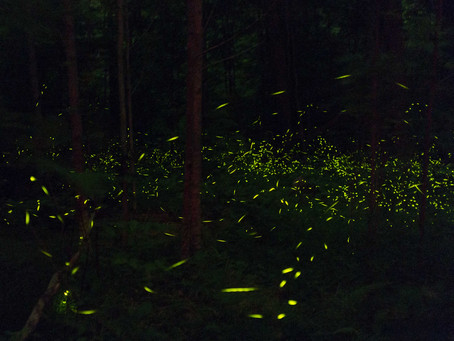 Lynn Lab Watches Some Fireflies (thousands of them)