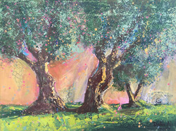 J60- 3 Olive trees