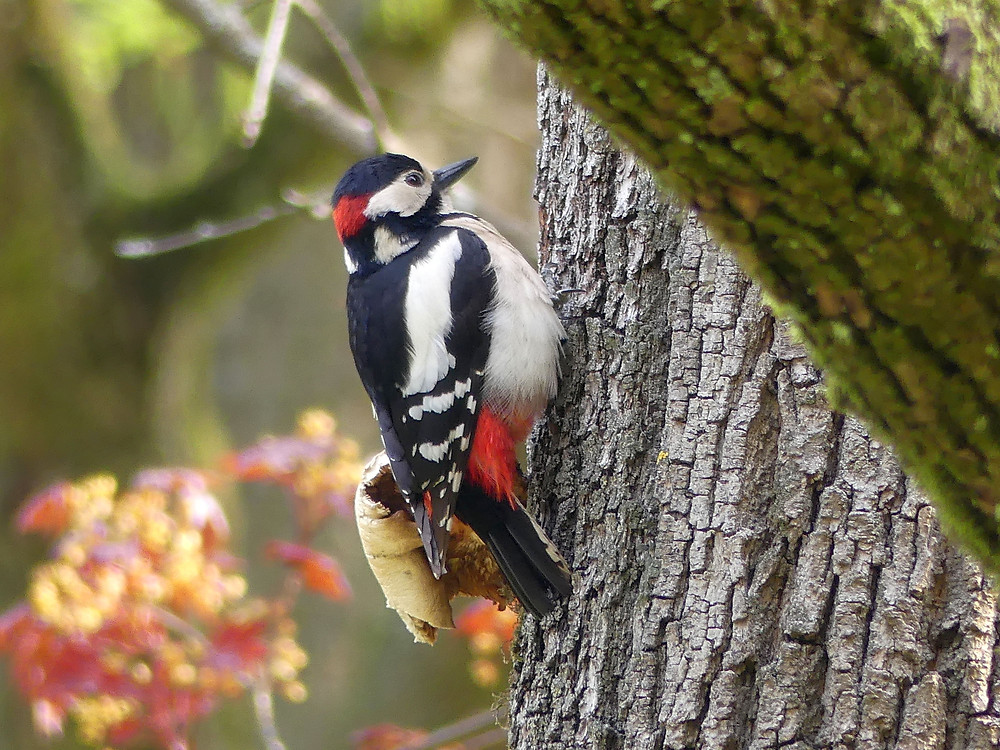 Buntspecht Männchen an Baumstamm