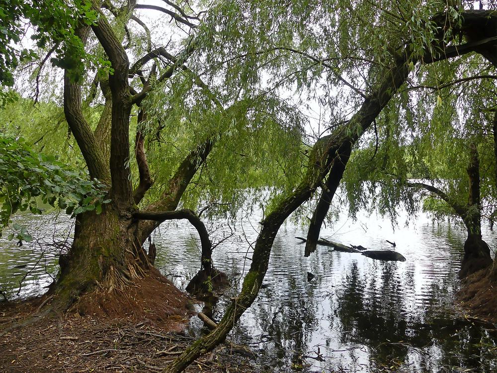Alte Weiden am Teichrand