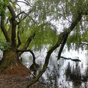 Weide: Baum der Unsterblichkeit