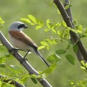 Neuntöter, Singvogel oder Greifvogel?
