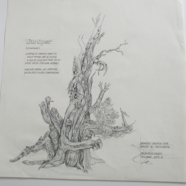 Juniper: Bighorn Canyon artist-in-residency