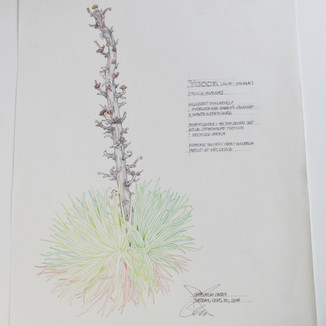Yucca: Bighorn Canyon artist-in-residency