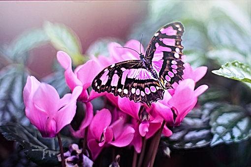 pink-butterfly-1281428_1920.jpg