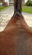 AH Saddles wither picture for saddle fitting example 2