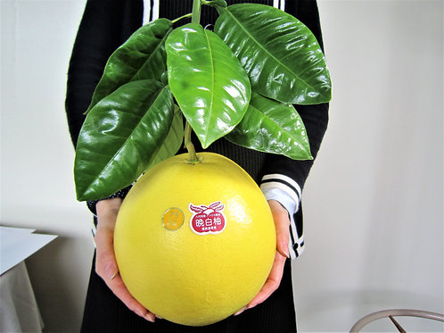 貴重!葉っぱつき晩白柚1玉