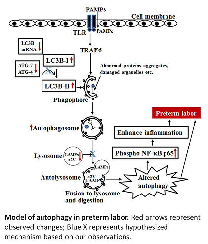 Autophagy model JPG for research page.pn