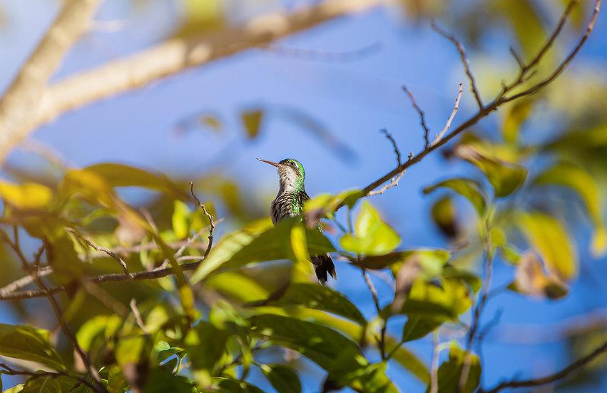 Cozumel Hummingbirds