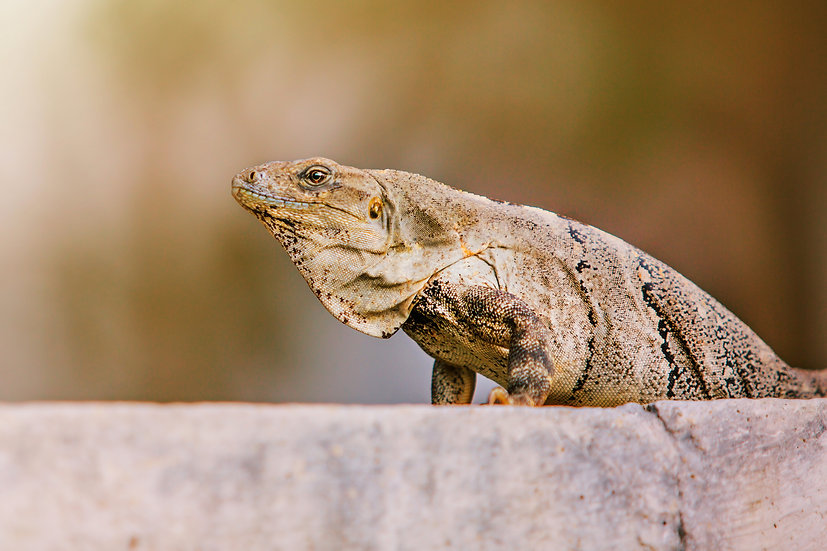Cozumel Iguana